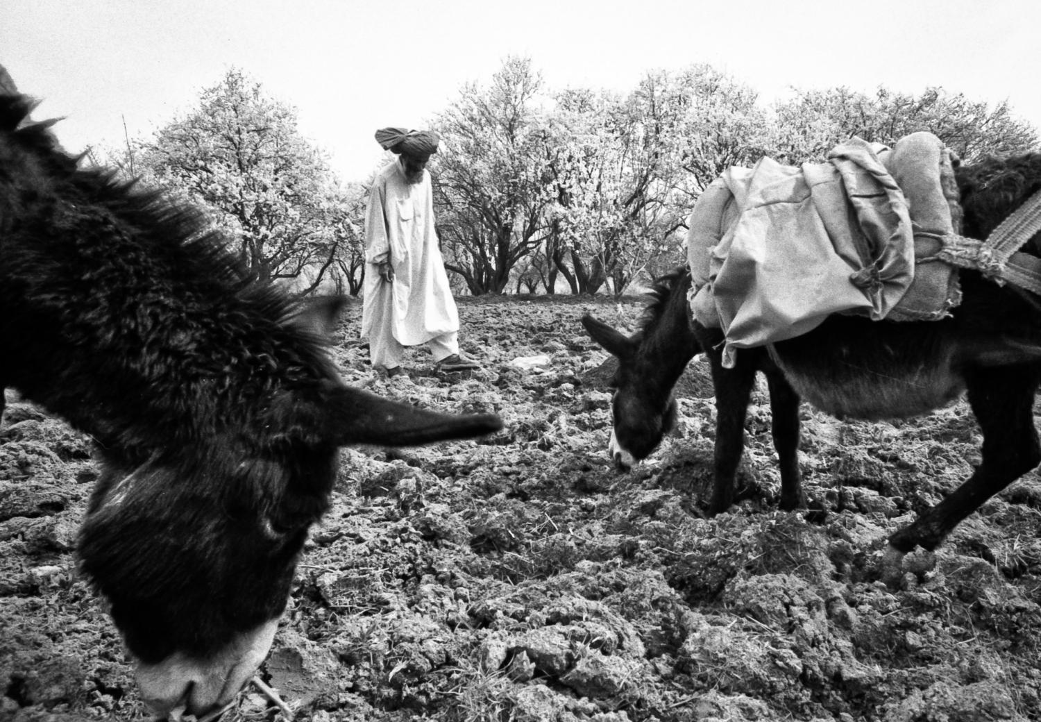 Farmer with Donkeys